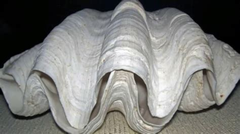 The World's Biggest Natural Giant Clam Pearl # A Bag Under