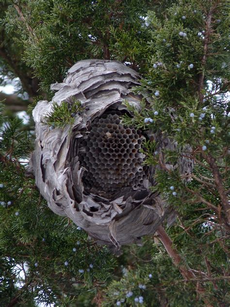 Bald-faced Hornet (NPS National Capital Region Bees and