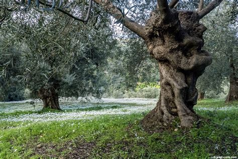 An olive grove in winter