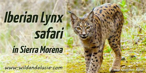 Iberian Lynx tour in Andujar by local wildlife guide